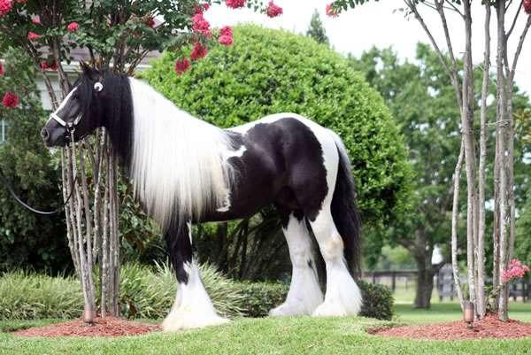 Dos caballos gypsy vanner para la venta.