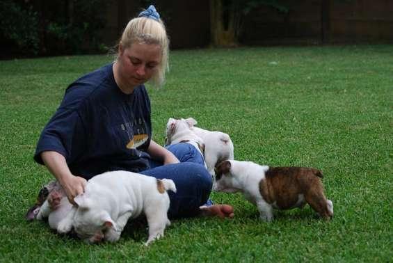 Inglés bulldogs cachorros 12 semanas de vida