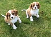 Los cachorros Cavalier King Charles Spaniel