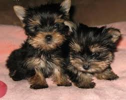 Regalo lindo yorkshire terrier mini toy cachorros//