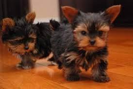 Regalo toy cachorros yorkshire terrier yorkie//nuevo